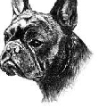 Par Esquisse French Bulldog