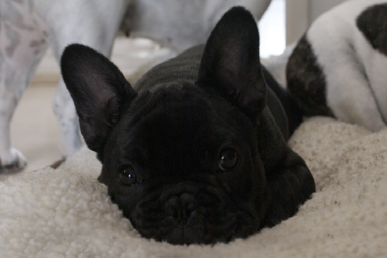 french bulldog rescue seattle french bulldog breeders vancouver dogs breed 3873